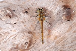 Sympetrum danae